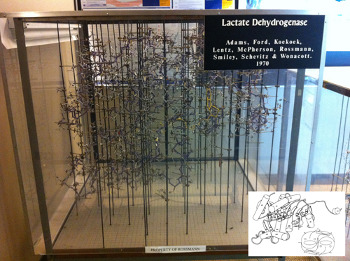 The wire model of LDH built in the late sixties at Purdue University using 'Kendrew' atomic parts. This represents the technology of the time to build protein structures based on electron density maps drawn on glass windows using a Richard's Box (also referred to as Richard's Folly). NAD is bound in the foreground of the model (yellow yarn), corresponding to the carboxy-end of the NAD-binding domain. The device was designed by F. M. Richard of Yale University. See insert for a simplified depiction of the structure, using a rendering common in the literature in the 1980's. The x-y grid used to measure the coordinates is visible on the floor of the model, where the metal rods are screwed in. The z coordinate is the height from the plane of the base, measured with a plumb line. P, Q, R indicate the three orthogonal 2-fold axes.Insert: Shows the Jane Richardson type of diagram of the polypeptide fold drawn by Audrey Rossmann, and the fish drawing (by the author) shows the arrangement of each monomer within the M4 LDH tetramer. The tail of the fish mimics the extension at the amino terminal end that can be seen clearly in the computer rendition in Figure 9. The spine and the dorsal fin of the fish are drawn approximately in the direction of the β-strands (Reprinted from J. Mol. Biology. Copyright J. Mol. Biology (Abad-Zapatero et al., 1987.