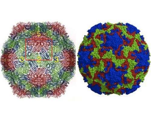 External view of the structures of SBMV and HRV14 (left and right, respectively). Although very different in external appearances under the electron microscope, the polypeptide fold of the two viruses and many others is based on the 'jelly-roll' structure, first observed by Steve Harrison and colleagues in TBSV. The orientation is approximately the same with the symmetry elements of the icosahedral asymmetric unit marked, showing a small protrusion in SBMV at the 5-fold (red). HRV14 image courtesy of M. G. Rossmann.