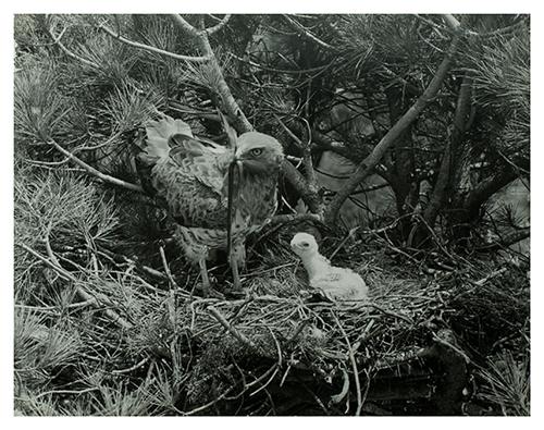 Fotografía de Hosking de un águila alimentando a su cría