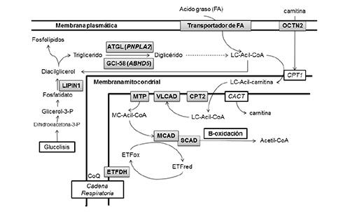 Esquema del metabolismo de los triglicéridos y de los ácidos grasos señalando los déficits enzimáticos que producen miopatías lipídicas. En sombreado los enzimas deficitarios (ver texto para relacionar los acrónimos).
