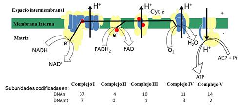 Esquema del sistema de fosforilación oxidativa. Subunidades codificadas en el DNA mitocondrial (azul) y en el DNA nuclear (amarillo). Puntos: coenzima Q. En la parte inferior figura el número de subunidades codificadas en uno u otro genoma