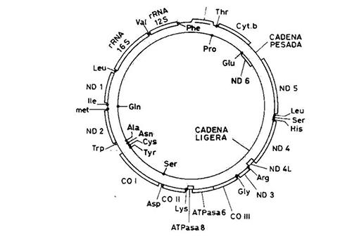 Mapa genético del DNA mitocondrial humano. RNAr, RNA ribosómico; RNAt, RNA de transferencia indicando el aminoácido que transporta; secuencias codificadoras de proteínas (ND: subunidades de la NADH deshidrogena, complejo I ; cyt b: apocitocromo b, complejo III; CO: subunidades de la citocromo c oxidasa, complejo IV, y ATP, subunidades de la ATP sintasa, complejo V