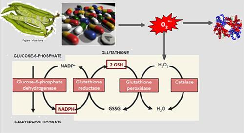 Sistema óxido-reductor del hematíe de substancias oxidantes (habas y ciertos medicamentos)
