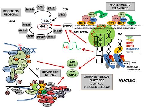 Modelo de interconexión de las vías implicadas en fallos medulares hereditarios