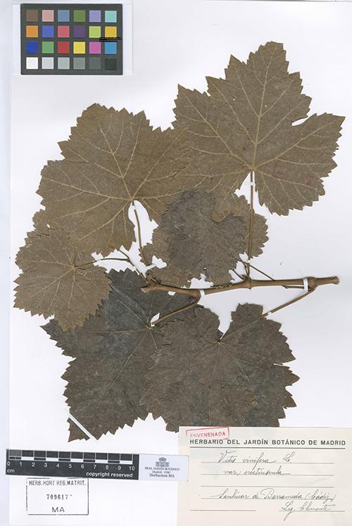 Ejemplo de buen estado de conservación de uno de los pliegos del herbario de vid de Simón de Rojas Clemente.