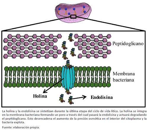 Representación esquemática del sistema holina/endolisina encargado de la lisis desde dentro de una bacteria Gram positiva