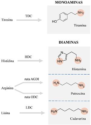 Estructura química y biosíntesis de las principales aminas biógenas que se pueden acumular en alimentos. Los grupos amino se representan mediante círculos coloreados. TDC, tirosina descarboxilasa; HDC, histidina descarboxilasa; AGDI, Agmatina deiminasa; ODC, ornitina descarboxilasa; LDC, lisina descarboxilasa