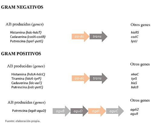 Representación esquemática de los genes implicados en la síntesis de las principales AB. Se indican los nombres más comunes de los genes de cada una de las aminoácil descarboxilasas y sus transportadores. Asimismo, se indican los nombres de otros genes accesorios que acompañan a éstos. En el caso de la ruta de la agmatina deiminasa, se muestran en la figura el resto de genes catalíticos implicados en la reacción de desaminación de la agmatina. (ver más detalles en el texto)